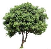 Árbol de lichí Foto de archivo libre de regalías