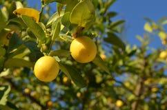 Árbol de limón Fotos de archivo
