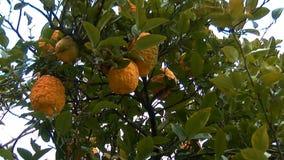 Árbol de limón metrajes