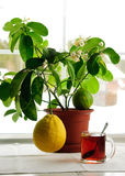 Árbol de limón Imágenes de archivo libres de regalías