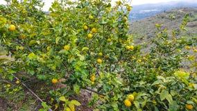 Árbol de limón Imagen de archivo