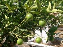Árbol de limón Foto de archivo libre de regalías