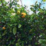 Árbol de limón con los limones Foto de archivo libre de regalías