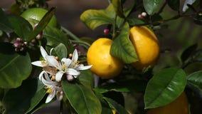 Árbol de limón de Meyer almacen de metraje de vídeo