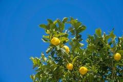 Árbol de limón, Grecia Imagen de archivo libre de regalías