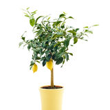 Árbol de limón orgánico Foto de archivo