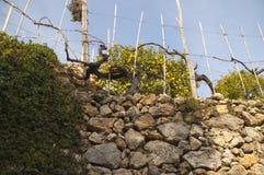 Árbol de limón y pared de piedra Imagen de archivo libre de regalías