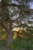 Árbol de Live Oak de la puesta del sol Imagen de archivo