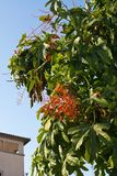 Árbol de llama de Acerifolium foto de archivo