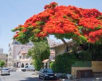 Árbol de llama en Limassol, Chipre Imágenes de archivo libres de regalías