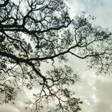 Árbol de lluvia fotos de archivo libres de regalías