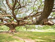Árbol de lluvia grande magnífico con el tronco masivo, Tailandia foto de archivo libre de regalías