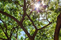 Árbol de lluvia, nuez del indio del este, vaina de mono Imagenes de archivo