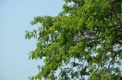 Árbol de lluvia y cielo azul fotos de archivo libres de regalías
