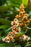 Árbol de Loquat con la flor Imagen de archivo