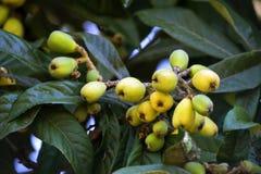 Árbol de Loquat con las frutas maduras Foto de archivo