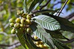 Árbol de Loquat con las frutas maduras Foto de archivo libre de regalías