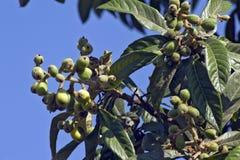 Árbol de Loquat con las frutas maduras Fotografía de archivo