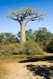 Árbol de los baobabs Fotografía de archivo