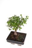 Árbol de los bonsais foto de archivo libre de regalías