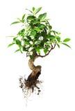 Árbol de los bonsais Imagenes de archivo