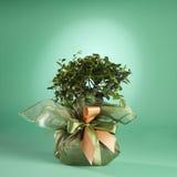 Árbol de los bonsais Fotos de archivo