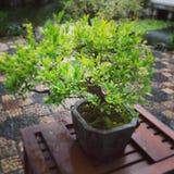 Árbol de los bonsais imagen de archivo libre de regalías