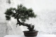 Árbol de los bonsais Foto de archivo