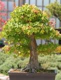 Árbol de los bonsais. Fotos de archivo