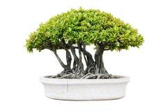 Árbol de los bonsais aislado fotos de archivo libres de regalías