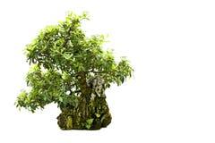 Árbol de los bonsais aislado en blanco foto de archivo