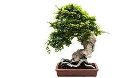Árbol de los bonsais aislado en blanco Fotografía de archivo libre de regalías