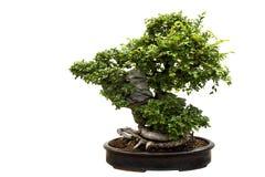 Árbol de los bonsais aislado en blanco imágenes de archivo libres de regalías