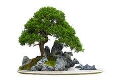 Árbol de los bonsais, aislado en blanco Foto de archivo libre de regalías