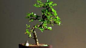Árbol de los bonsais con los pequeños flores blancos metrajes