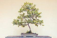 Árbol de los bonsais de Camellia Sasanqua imágenes de archivo libres de regalías