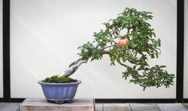 Árbol de los bonsais de la granada Foto de archivo libre de regalías