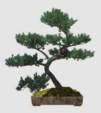 árbol de los bonsais del ejemplo 3D aislado en blanco Imágenes de archivo libres de regalías