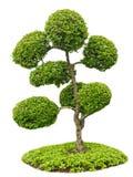 Árbol de los bonsais en el jardín aislado en blanco Imagen de archivo