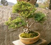 Árbol de los bonsais en jardín Fotografía de archivo