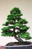 Árbol de los bonsais en Jardin Botanique Fotos de archivo libres de regalías