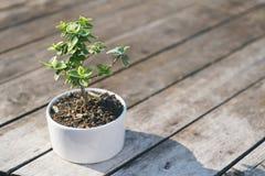Árbol de los bonsais en poca planta de tiesto blanca con el fondo de madera de la textura de la tabla Imagenes de archivo
