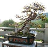 Árbol de los bonsais Fotos de archivo libres de regalías