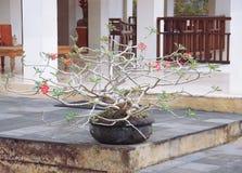 Árbol de los bonsais en un pote en la tabla imágenes de archivo libres de regalías