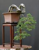 Árbol de los bonsais que crece abajo Fotografía de archivo libre de regalías