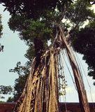 Árbol de los ficus en el templo de la literatura en Hanoi foto de archivo