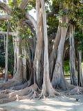 Árbol de los ficus en la ciudad de Palermo en Giardino Garibaldi Foto de archivo