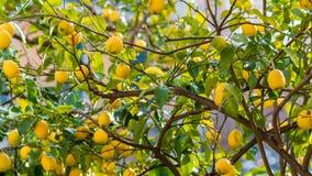 Árbol de los limones de Sorrento listos para ser escogido y para ser gozado imagenes de archivo
