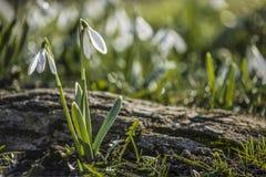 Árbol de los snowdrops de la primavera Imagen de archivo