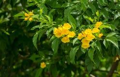 Árbol de los stans de Tecoma en jardín foto de archivo libre de regalías